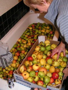 Washing apples in the bath!